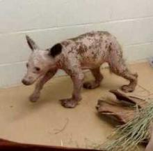 Hairless Bear Cub Found In Dumpster Freaks Out Area Residents