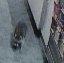 Call Of The Wildlife: Tech-Loving Raccoon Raids Mobile Phone Store