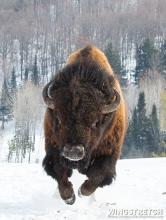 American Bison in Winter