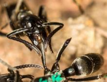 Matabele ant treats the wounds of a mate