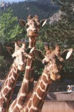 Giraffes at Cheyenne Mountain Zoo (image via CMZ Facebook)