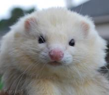 Angora Ferret  (image: Top Notch Ferrets)