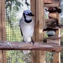 Rescued Blue Jay Can Imitate Cat's Meow