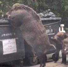 Dumpster-Diving Hong Kong 'Boar King' Is One Big Pig... Or Is It?
