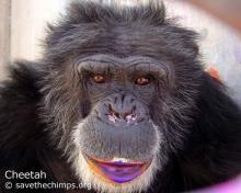 Cheetah the rescue chimp (image via Save the Chimps)