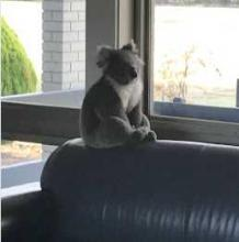 Koala Found Inside School Wants To Be Teacher's Pet