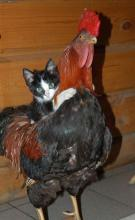 Rooster-Riding Kitten