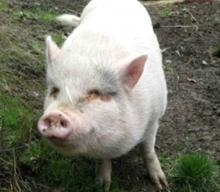 Canadian couple eat rescue pig (image:BC SPCA)