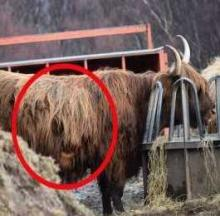 'Two-Faced' Highland Cow Says That's No Bull