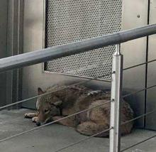 Wily Coyote Spends Night At Museum, Leaves Smarter But Sleepier