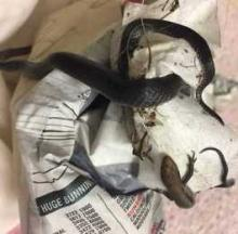 Australian Snake & Lizard Saved From Sticky Situation
