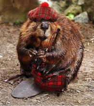 Scottish Beaver