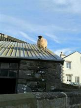 Sheep on a Tin Roof