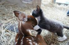 Fawn and Kitten Friendship