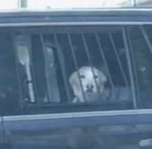 Pooch Perp Peers Pensively From Police Paddywagon