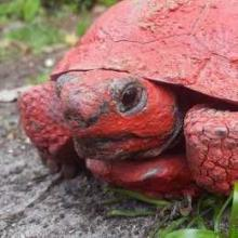 Paint Prank Has Rescued Tortoise Seeing Red