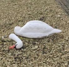 Swan Song For 'Beheaded' Bird Was A Beak Mistake