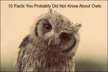 10 facts your probably didn't know about owls