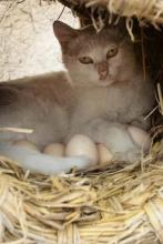 Egg-Laying Cat