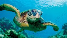 Due To Magnetic Field, Loggerheads Don't Always Return Home