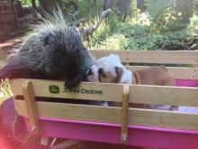Porcupine and Puppy
