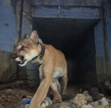 'Culvert Cat' Caught On Camera Crossing Freeways Via Underground Tunnel