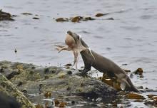 Scottish Otter Catches & Eats Octopus, Won't Be Played For A Sucker