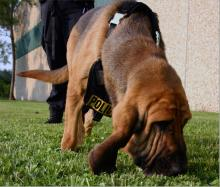 Bloodhound is doing a tracking exercise