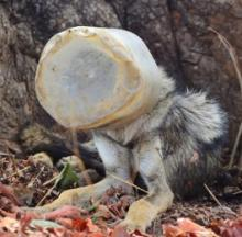 Rescuers Remove Wild Wolf's Head From Plastic Jar