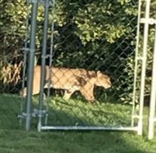 Mysterious 'Big Cat' Snapped Skulking Through Northeastern PA Backyards
