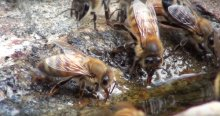 Bees drinking water from a stream