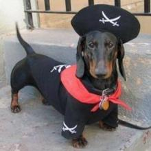 Pirate Doxie