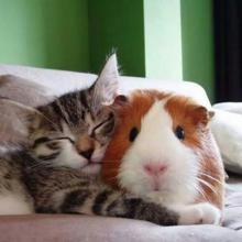 Guinea Pig and Kitten