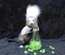 Mad Scientist Ferret