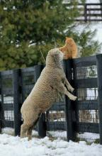 Cat and Sheep