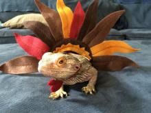 Turkey Lizard