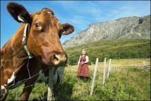 Scandinavian Cow and Dairy Maid