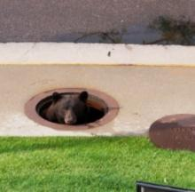 Bear In Colorado Springs Sprung From Storm Drain