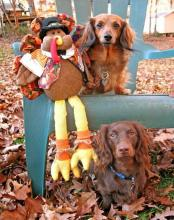 Dachsunds and Thanksgiving Turkey