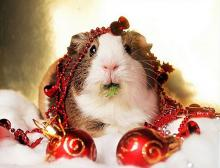 Christmas Decorating Guinea Pig