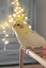 Twinkle Light Cockatiel