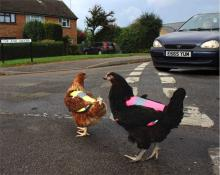 High visibility chicken jackets