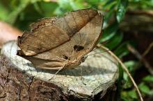 Is The Dead Leaf Butterfly The Master Of Disguise?
