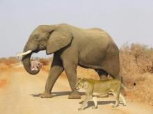 Elephant Carrying Lion Cub