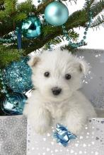 Blue Christmas Puppy