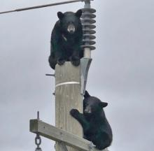 Bears Climb Power Line Pole, Avoid Getting Buzzed