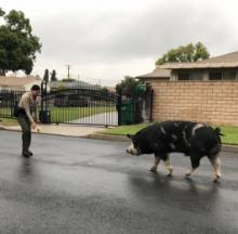 Plump Pig On The Lam Lured Back With Trail Of Doritos