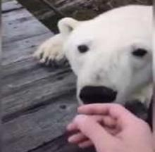 Pesky Polar Bear Just Wants To Have Friends For Lunch