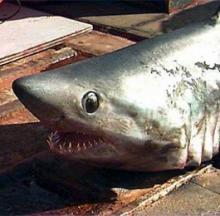 Jaws UK: Fishing Friends Reel In & Release Largest Shark Ever Caught In British Waters