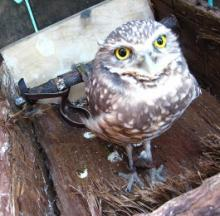 Orphaned Oregon Owls Enjoying Days Of Wine & Rodents